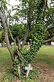 All Saints Church, Nazeing, Essex, England ~ churchyard east ivy, tree, and cross.JPG