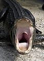 Alligator mississippiensis yawn.jpg