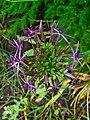 Allium cristophii 002.JPG