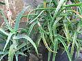 Aloe Arborescens 2. (2842830248).jpg