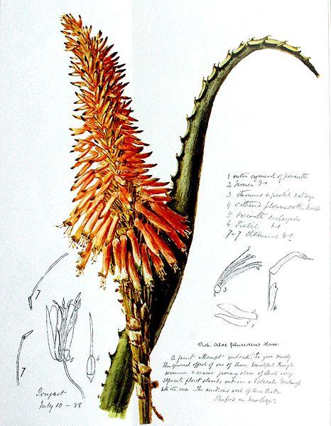 Aloe  Wikipedia