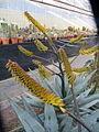 Aloe flowers (7006853999).jpg