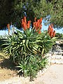 Aloe in Antibes.jpg