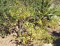 Aloysia citriodora (Aloysia triphylla) - Leaning Pine Arboretum - DSC05605.JPG