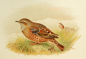 English: An illustration of an Alpine Accentor...