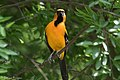 Altamira Oriole (male) National Butterfly Center Mission TX 2018-03-19 13-42-57 (39100249890).jpg