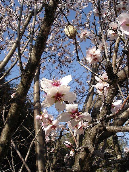 les fleurs avant les feuilles de l'amandier