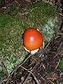 Amanita muscaria 26642.JPG