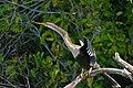 American Anhinga (Anhinga anhinga) female (31544130721).jpg