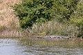 American alligators (Alligator mississippiensis), Attwater Prairie Chicken National Wildlife Refuge.jpg
