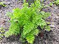 Ammeos visnagae fructus Pflanze.jpg