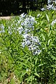 Amsonia orientalis kz02.jpg