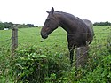 An inquisitive horse, Omagh - geograph.org.uk - 1396152.jpg