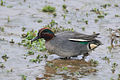 Anas crecca -Rutland Water, Rutland, England -male-8.jpg