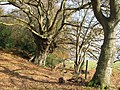 Ancient oak tree near Pighole Pill - geograph.org.uk - 1050059.jpg