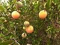 Ancylobothrys capensis, vrugte en loof, Elandsfontein, a.jpg