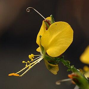 Aneilema - Aneilema aequinoctiale flower