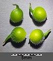 Anemone ranunculoides sl11.jpg