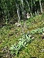 Antennaria dioica sl63.jpg