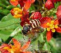 Anthidiini (Megachilidae) - Flickr - gailhampshire (2).jpg