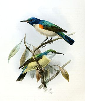 Description de l'image Anthreptes aurantium Keulemans.jpg.