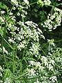 Anthriscus sylvestris002.jpg