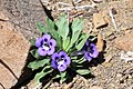 Aptosimum indivisum (Scrophulariaceae) (4629557566).jpg