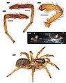 Aptostichus chavezi 01.jpg