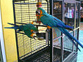 Ara ararauna -two pets and their cage-8a.jpg