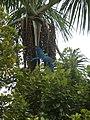 Ara ararauna amazonas.JPG