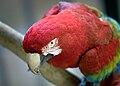 Ara chloropterus -Buenos Aires Zoo-8a.jpg