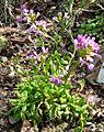 Arabis blepharophylla 1.jpg