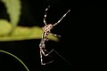 Araneus diadematus (36177240260).jpg