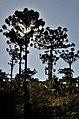 Araucaria Angustifolia - panoramio (2).jpg