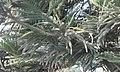 Araucaria columaris at Akola, India1.jpg