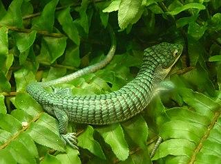 <i>Abronia</i> (lizard) Genus of lizards, family of Anguidae