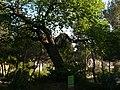 Arbre de l'amor del carrer Panorama P1500864.jpg