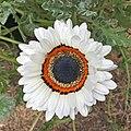 Arctotis fastuosa-IMG 3138 copy.jpg