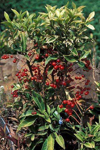 Myrsinaceae - Ardisia crenata