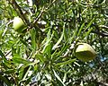 Argan fruit. - Flickr - gailhampshire.jpg