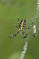 Argiope.bruennichi.female.jpg