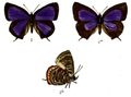 ArhopalaBazaloides 680 2 Knight.png