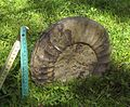 Arietites bucklandi Ofterdingen.jpg