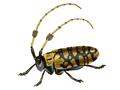 Aristobia reticulator.png