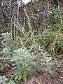 Artemisia pontica sl7.jpg