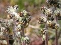 Artemisia scopulorum (5042720648).jpg