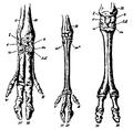 Artiodactyla feet.png
