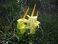 Arum creticum- Αφέντης.jpg