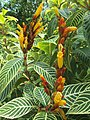 Arya.Sanchezia speciosa.taman kuning.KRK.2019.01.jpg