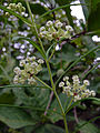 Asclepias verticillata - Whorled Milkweed 2.jpg